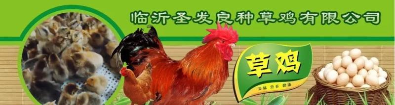 临沂圣发草鸡培育场(图2)